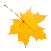 Yellow maple leaf as an autumn symbol — Stock Photo