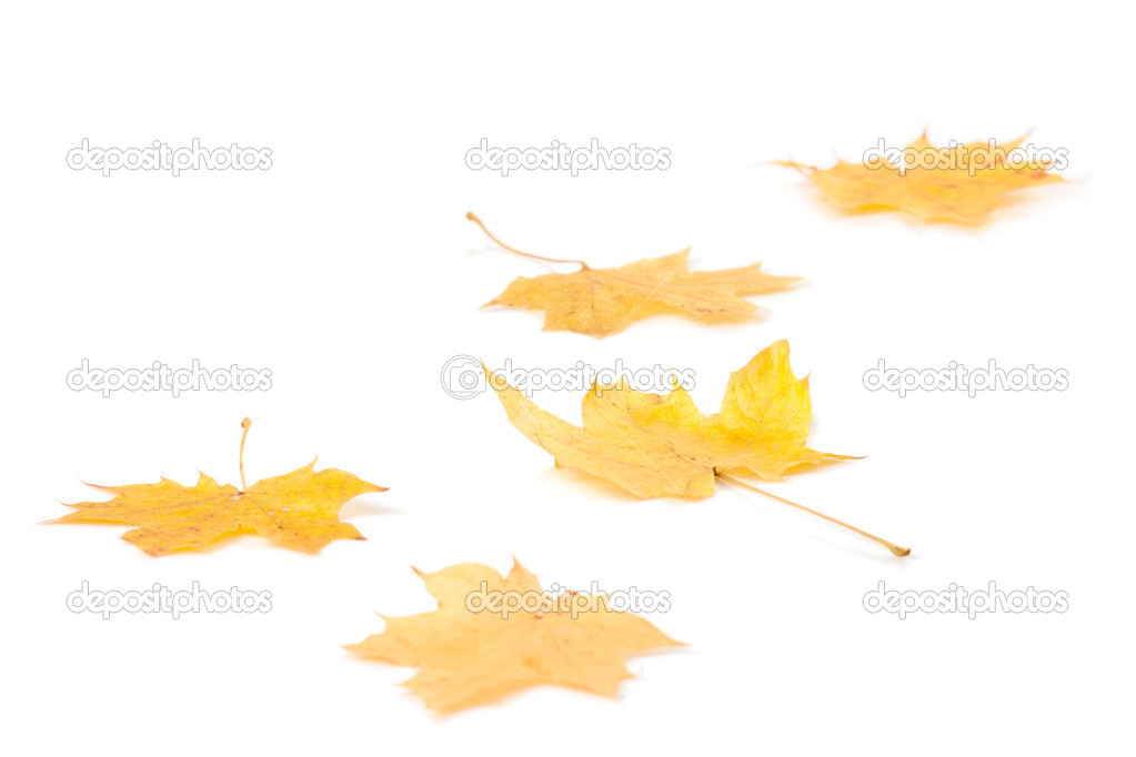 Autumn maple leaves isolated on white background — Stock Photo #14282927