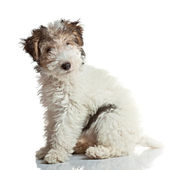 Fox Terrier puppy — Stock Photo