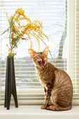 Cat cries — Stock Photo