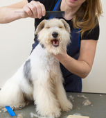 Fox terrier getting his hair cut — Stock Photo