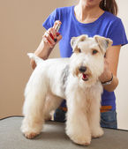 Barbeiro sprays fox terrier — Fotografia Stock