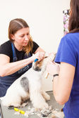 Fox terrier getting his hair cut — Fotografia Stock