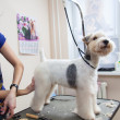 Fox terrier getting his hair cut - Stock Photo