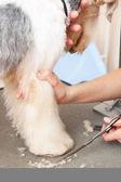 Fox terrier getting his hair cut — Stock Photo