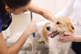 Jack Russell Terrier getting his hair cut — Stock Photo