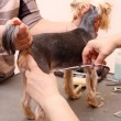Yorkshire Terrier getting his hair cut - Stock Photo