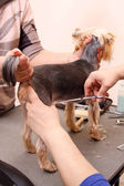 Yorkshire Terrier getting his hair cut — Stock Photo