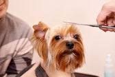 Yorkshire Terrier getting his hair cut — Fotografia Stock