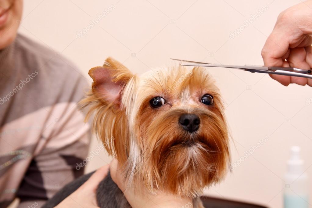 Coupe cheveux yorkshire sararachelbesy web - Modele de coupe pour yorkshire terrier ...