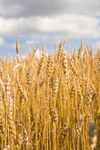 Gold wheat field and blue sky. — Stock Photo