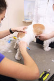Jack russell terrier de a cortarse el pelo — Foto de Stock