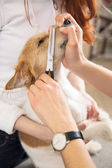 Hairdresser mows Jack Russell Terrier fur — Stock Photo