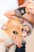 Hairdresser mows Jack Russell Terrier fur — Stock Photo