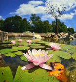 Bunte rosa water lilly im see — Stockfoto