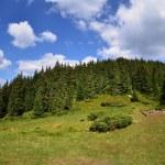 Fir trees forest — Stock Photo