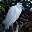 Stock Photo: White Spoonbill wading in river