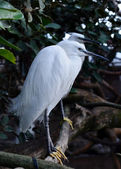 White Spoonbill wading in the river — Stock Photo
