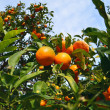 Branches with the fruits of the tangerine trees, Valencia, Spain — Stock Photo