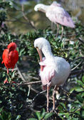 Roseate Spoonbill wading in the tree — Stock Photo
