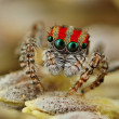 Four-eyed spider — Stock Photo #13781275