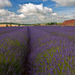 Stock Photo: Lavender field