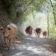 Stock Photo: Cows walking
