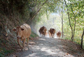 Cows walking — Stock Photo