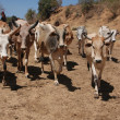 Cows in Ethiopia — Stock Photo