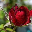 Beautiful red rose with rain drops — Stock Photo