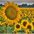 Field of flowerings sunflowers on a beautiful sunset background - Zdjęcie stockowe