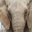 Elephant head — Stockfoto