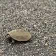 Tiny Terrapin — Stock Photo