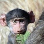 Baby Baboon — Stock Photo #13918334
