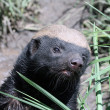 Honey Badger — Stock Photo #13918647