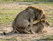 Mating Lion — Stock Photo