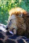 Lion at a Kill — Stock Photo