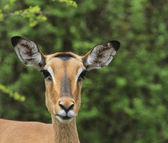 Impala Head — Stock Photo