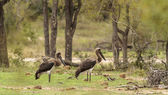 Pair of Young Marabou Stork — Stock Photo