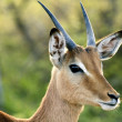 Impala Antelope — Stock Photo