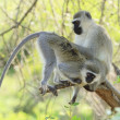Vervet Monkeys — Stock Photo #19543037