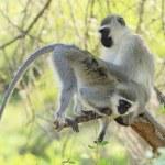 Vervet Monkeys — Stock Photo #19543037