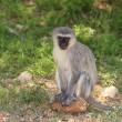 Vervet Monkey — Stock Photo #19543977