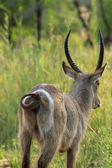 Buck de agua — Foto de Stock