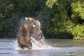 Animals Kamchatka — Stockfoto