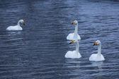 Cisne de whooper — Foto de Stock