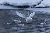 Labuť zpěvná — Stock fotografie