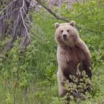 Kamchatka brown bear — Stock Photo #50149811