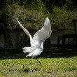 Portrait of a great white egret fly — Stock Photo #47434429