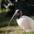 Portrait of a Wood stork on a background of green grass — Stock Photo #47434435